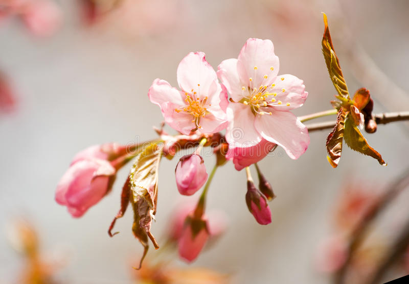 Download Japanese Cherry Royalty Free Stock Photography - Image: 21401467