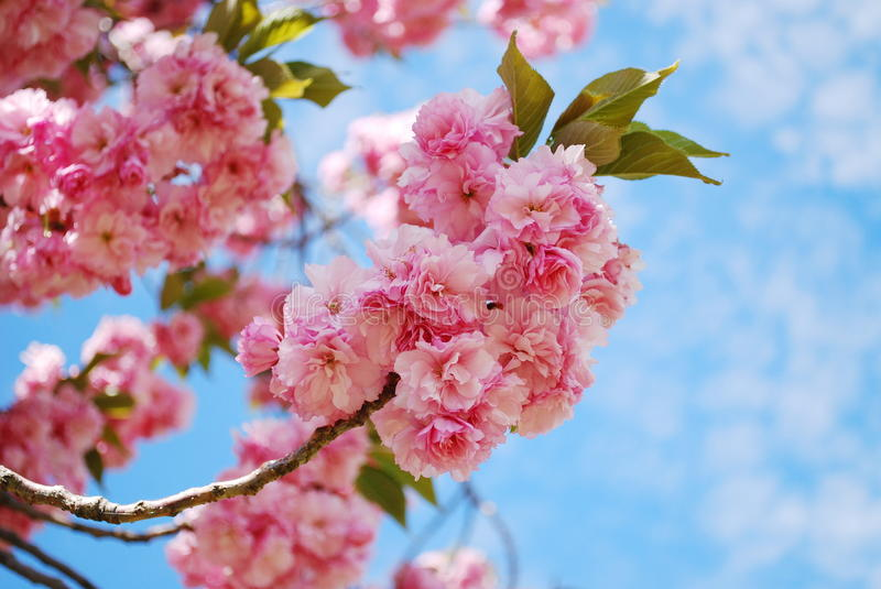 Download Japanese cherry stock photo. Image of blooms, season - 28649536