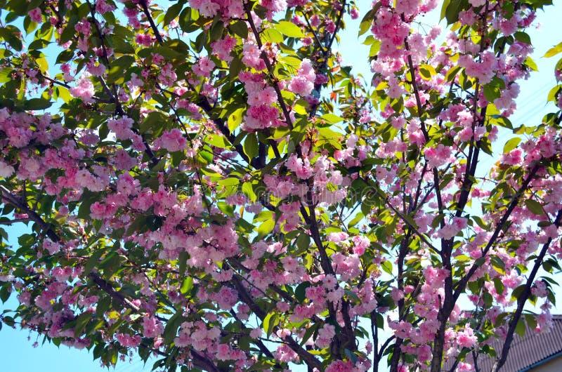 Japanese cherry royalty free stock photos