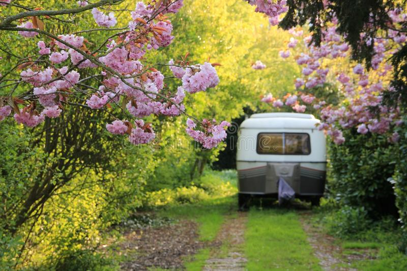 Blooming Japanese cherry blossom, Sakura and the caravan on the parking place in spring. royalty free stock photo