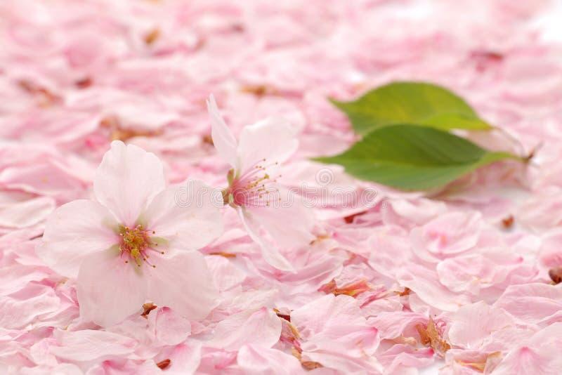 Japanese cherry blossom and petals stock photos