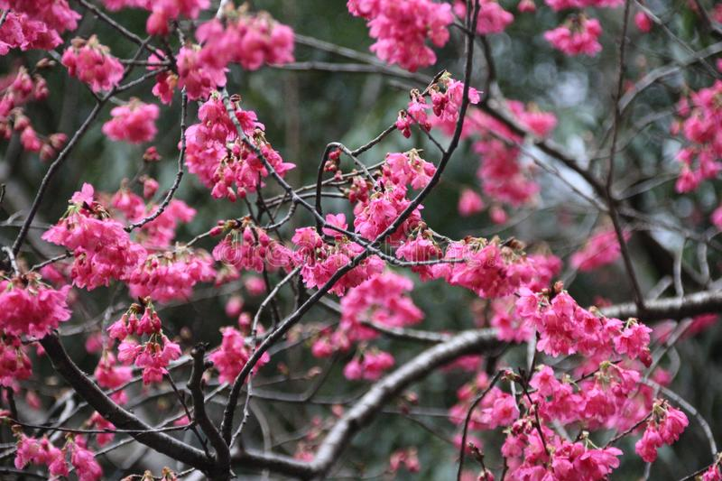 Japanese cherry blossom whose pink flowers royalty free stock images