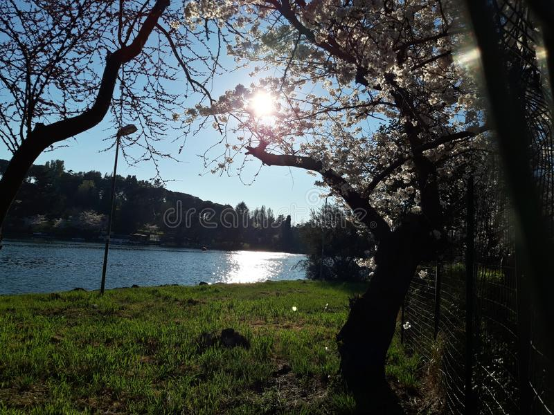 Japanese cherry blossoms in Rome, Eur little lake. Sunny spring day. royalty free stock images