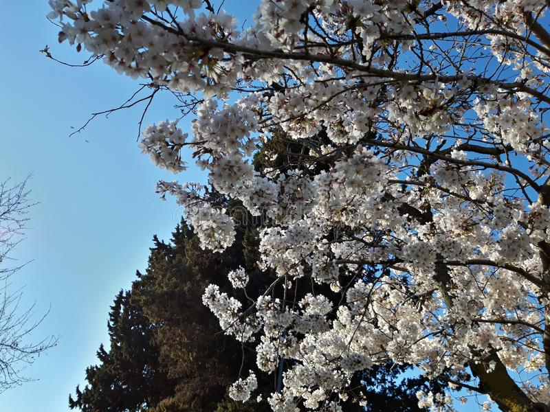 Japanese cherry blossoms in Rome, Eur little lake. Sunny spring day. stock images