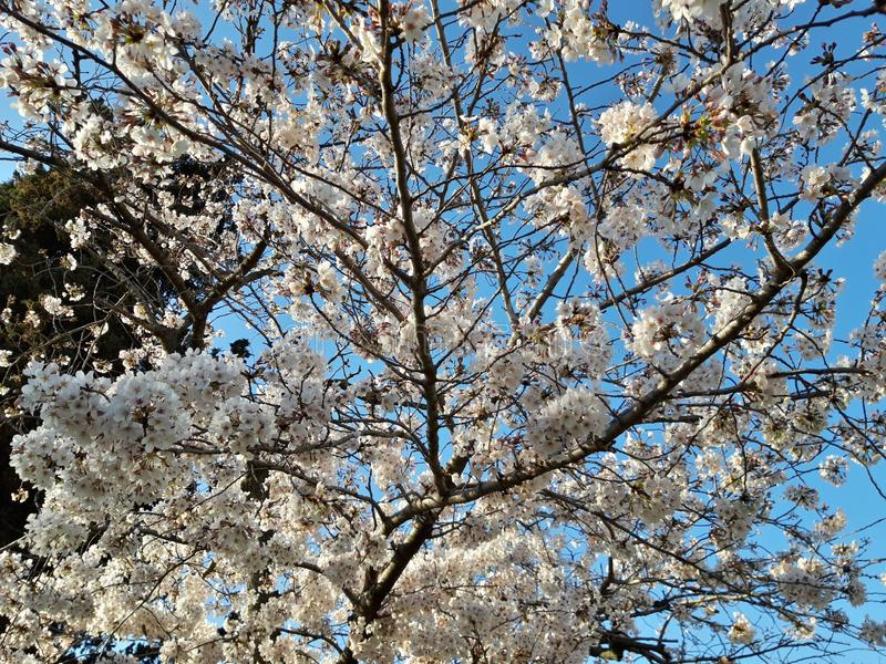 Japanese cherry blossoms in Rome, Eur little lake. Sunny spring day. royalty free stock photos