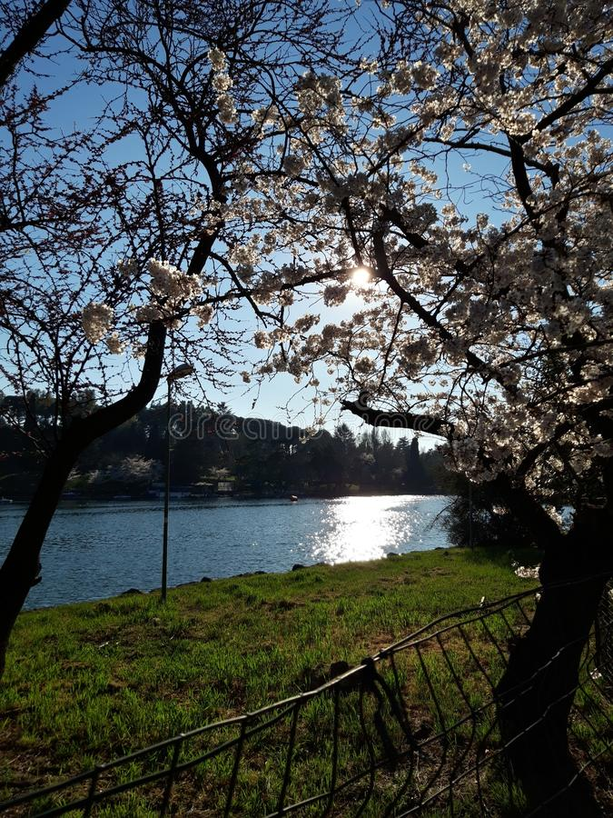 Japanese cherry blossoms in Rome, Eur little lake. Sunny spring day. royalty free stock image