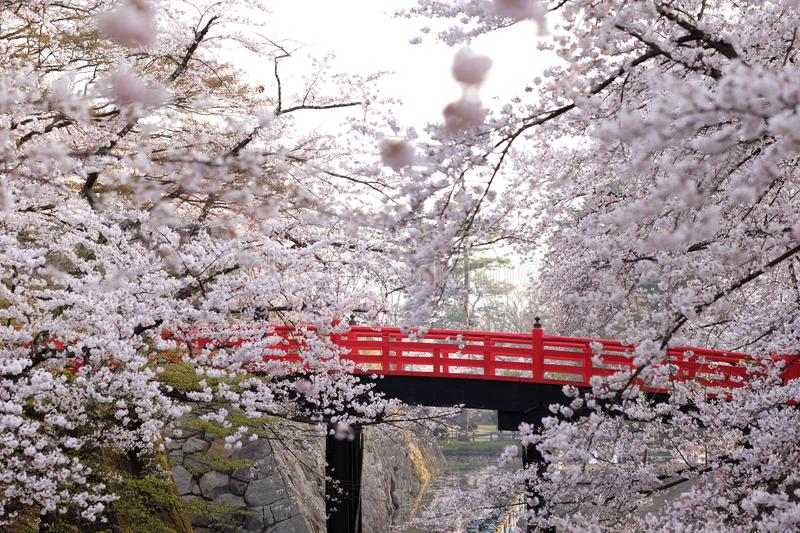 Japanese cherry blossoms are seen with red bridge, Japan royalty free stock image