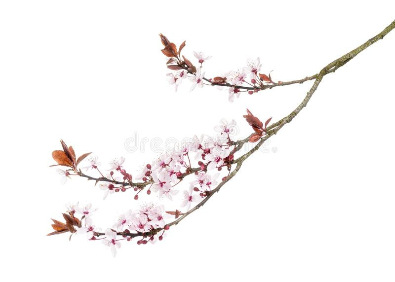 Japanese Cherry branch, isolated on white royalty free stock photos