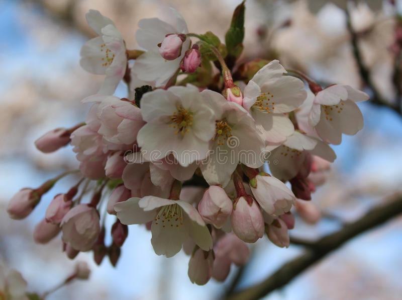 Japanese cherry close royalty free stock photography