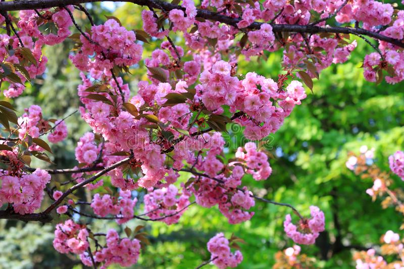 Japanese cherry, sakura tree with delicate pink flowers blooms in spring in the city park on a green background stock images