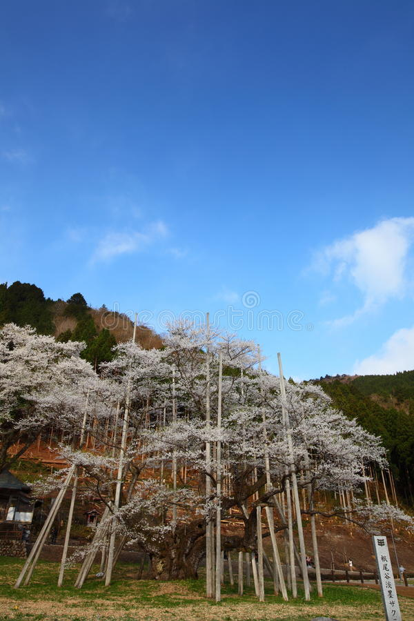 Download Japanese cherry tree stock image. Image of blue, blooming - 25602821