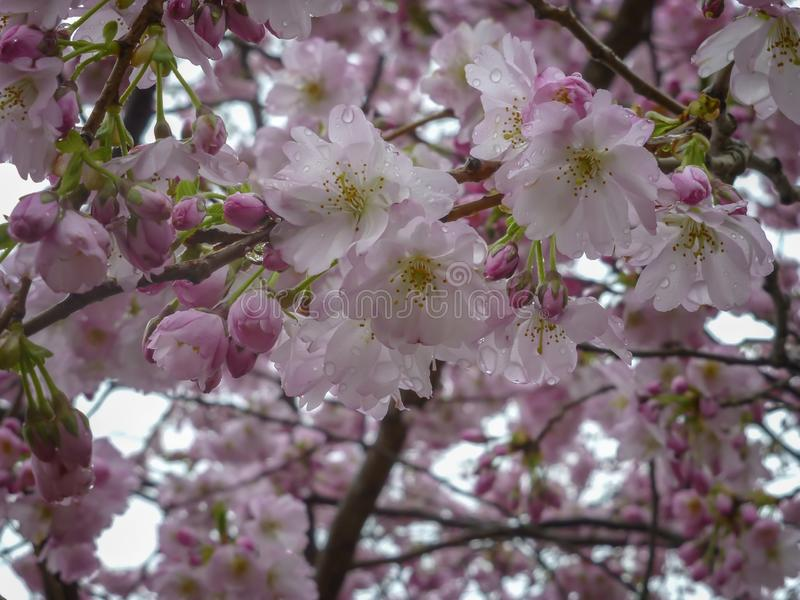 Japanese cherry tree in blooming. Spring season. Delightful plants for garden, park, landscape design. Interior photo. Bottom view royalty free stock photo