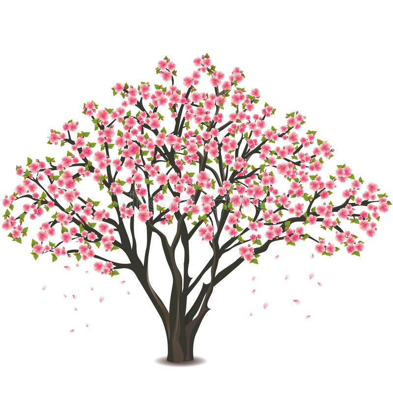 Free Japanese Cherry Tree Blossom Over White Stock Photo - 23440400