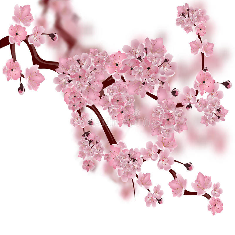 Japanese Cherry Tree. The Fluffy Pink Cherry Blossom Branch. On White Background With A Blurred ...