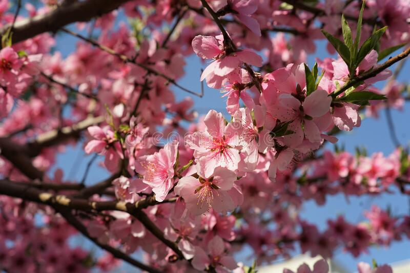 Japanese cherry tree full of small pink blossoms. In chinese park stock photo