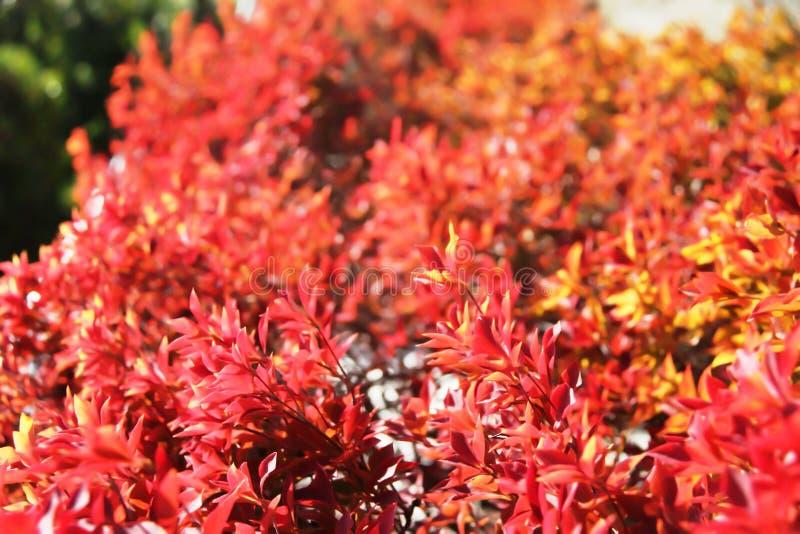 Japanese cherry tree royalty free stock photography