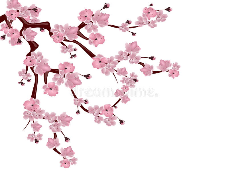 Japanese cherry tree. Spreading branch of pink cherry blossom. Isolated on white background. illustration royalty free illustration