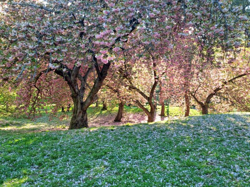 Japanese cherry tree in spring stock photo