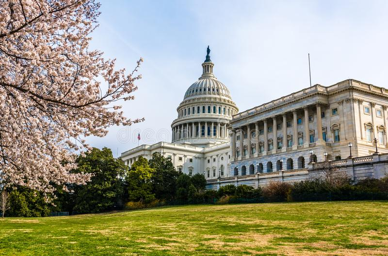 Japanese Cherry Tree and the United States Capitol. Spring on Capitol Hill with the United States Capitol Building and colorful cherry trees in bloom in royalty free stock images