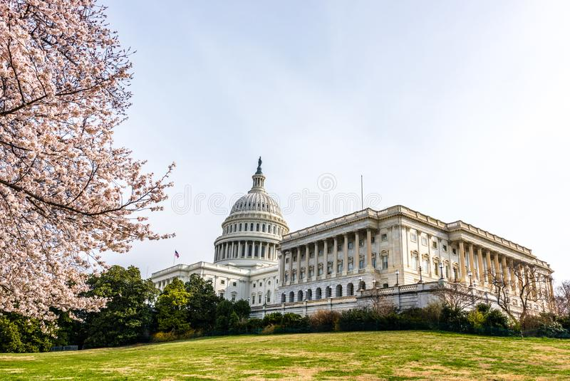 Japanese Cherry Tree and the United States Capitol. Spring on Capitol Hill with the United States Capitol Building and colorful cherry trees in bloom in royalty free stock photo