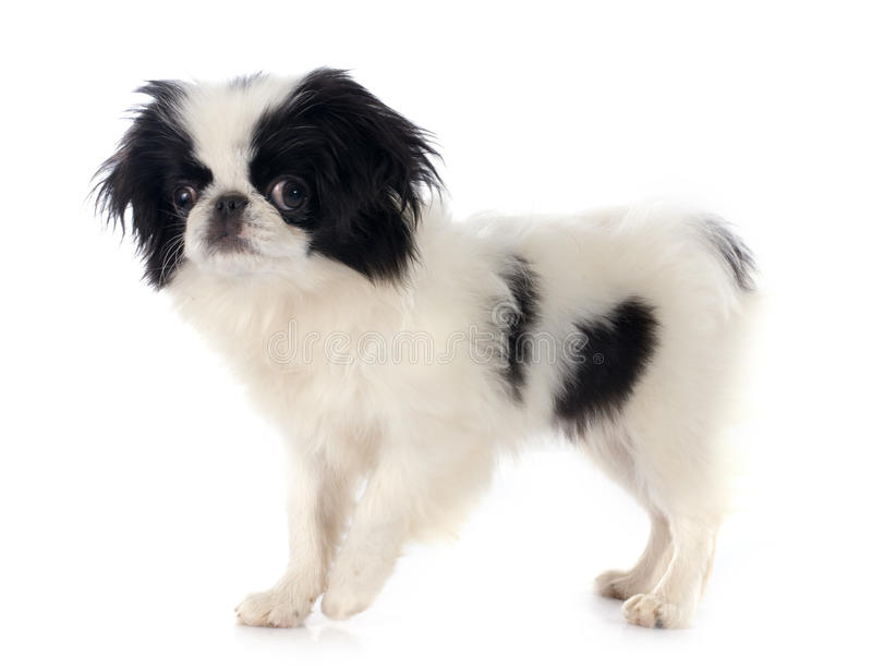 Japanese Chin royalty free stock photos