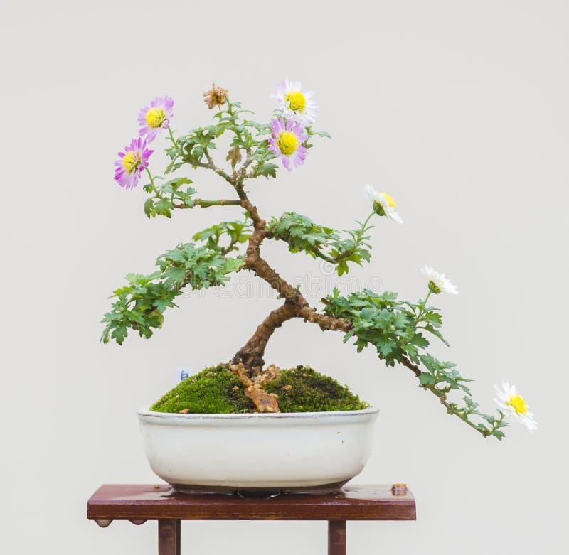 Japanese Chrysanthemum Bonsai Stock Photo Image Of Formal Blossom 129382824