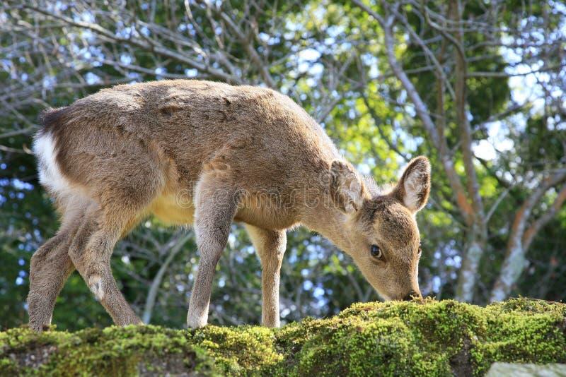 Japanese deer. Japanese shika deer eating moss on miyajima island, hiroshim royalty free stock photo