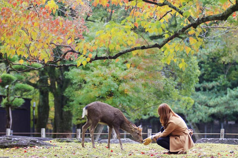 Japanese deer playing at Nara Park with red maple leaves tree on autumn season as background stock photos
