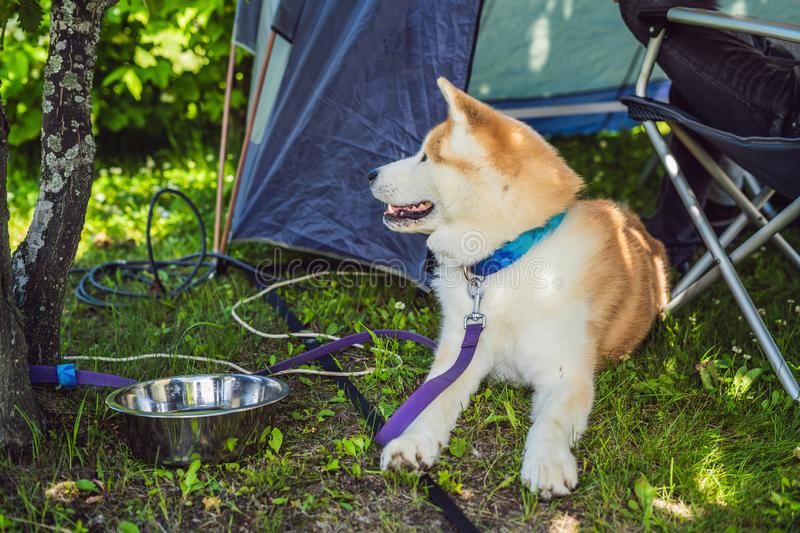 Japanese dog Akita inu portrait outdoor in a camp stock photography
