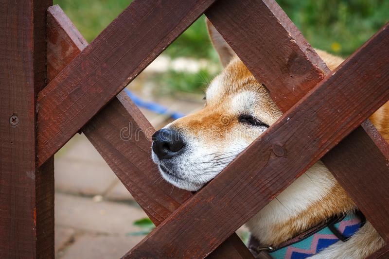 A Japanese dog of breed Shiba Inu stuck his nose out of a wooden fence. Japanese small size Shiba Ken dog looks into the distance stock photography