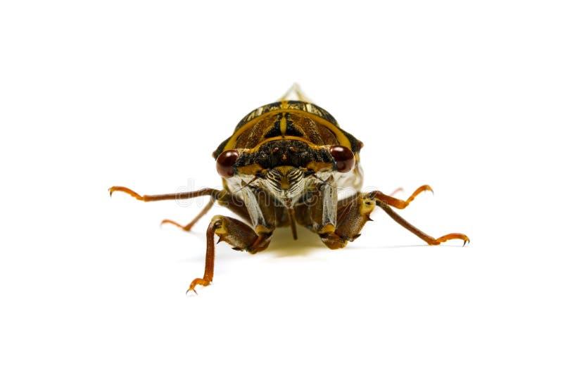 Japanese dog day cicada royalty free stock images