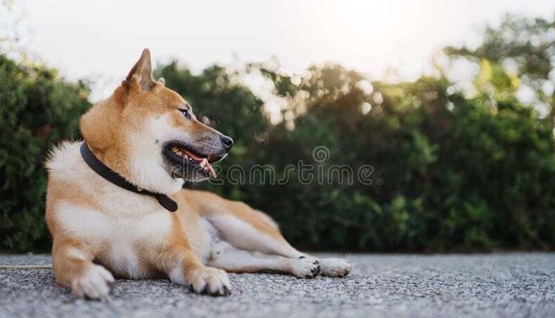 Japanese dog rest on background green landscape, chilling shiba inu leisure on park, pet relaxing on nature, animal friend relax royalty free stock image