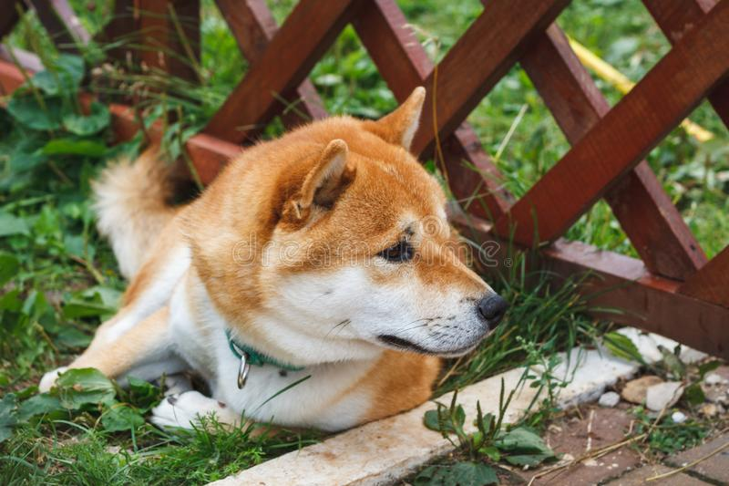 Japanese dog of Shiba Inu breed lying on the green grass on a sunny summer day. Japanese Small Size Dog Shiba Ken rest on grass.  royalty free stock image