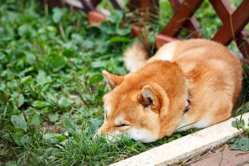 Japanese dog of Shiba Inu breed lying on the green grass on a sunny summer day. Japanese Small Size Dog Shiba Ken sleeping on gree. N grass stock photo