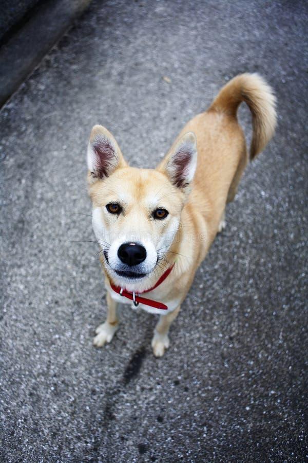 Download Japanese Dog Staring At The Camera Stock Photo - Image: 12822450