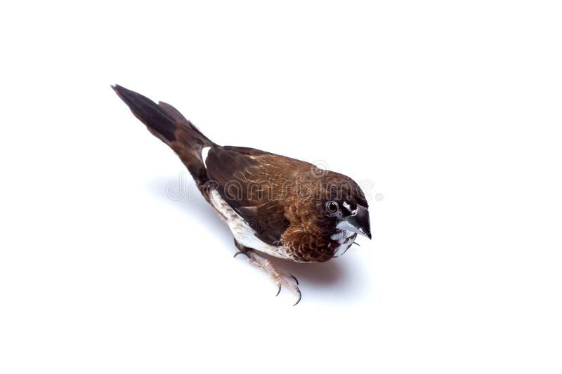 Japanese finch bird with brown and white feathers top view birding. Japanese finch bird with brown and white feathers top view birding isolated on a white royalty free stock image
