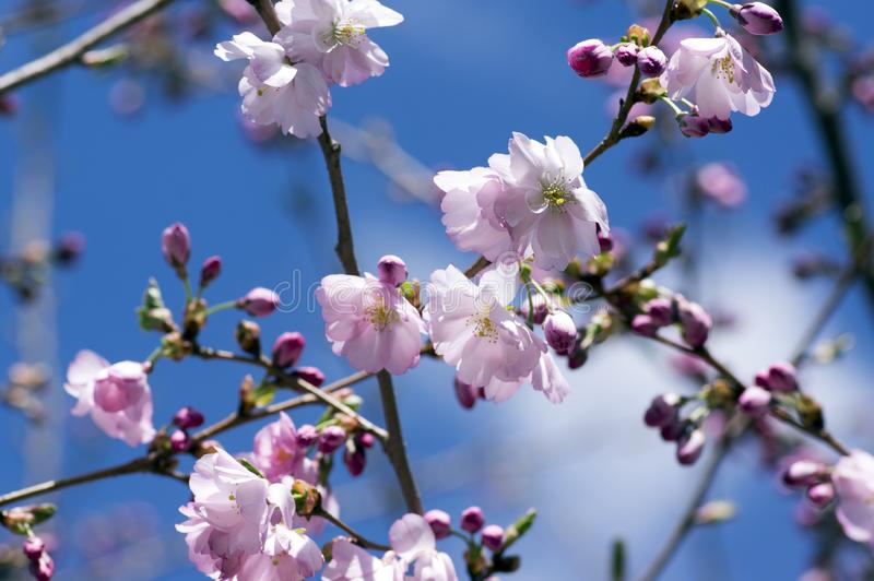 Japanese Flowering Cherries branches, light pale pink white double flowers in in bloom on branches without leaves, blue sky royalty free stock photos