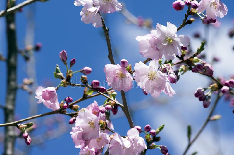 Japanese Flowering Cherries branches, light pale pink white double flowers in in bloom on branches without leaves, blue sky royalty free stock images