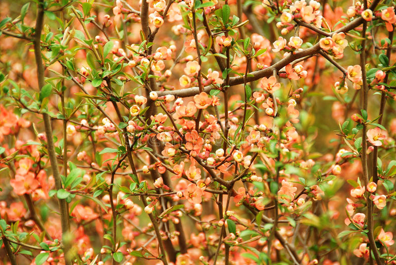Japanese flowering quince (Chaenomeles japonica). Blossom in the spring royalty free stock images