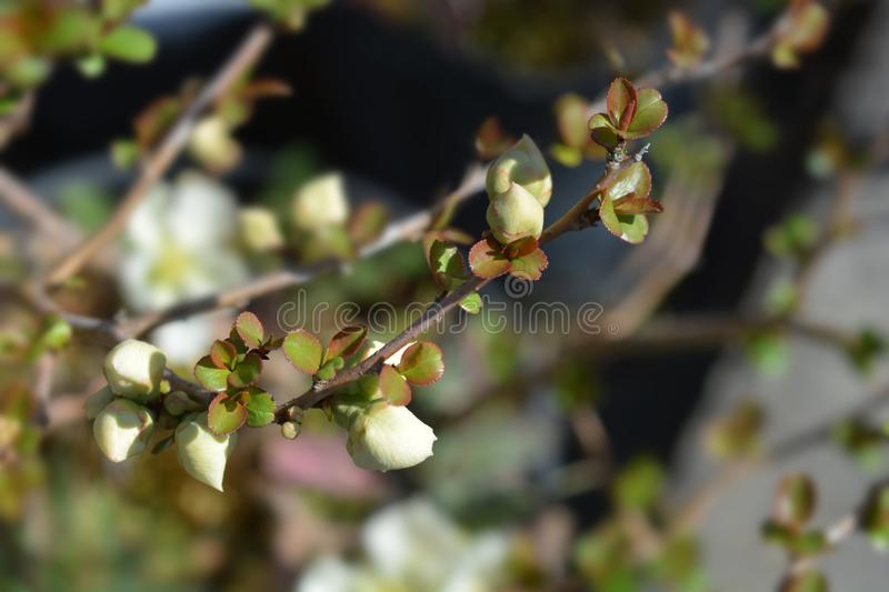 Japanese Flowering Quince stock photo