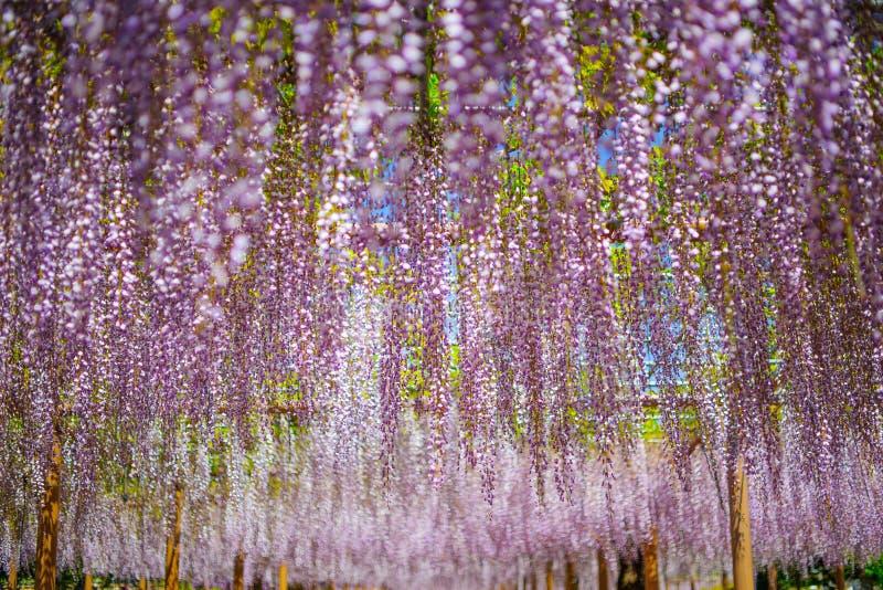 Japanese Fuji Wisteria Festival stock photos