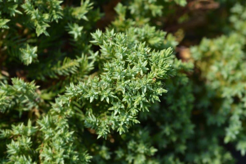 Japanese garden juniper royalty free stock photos