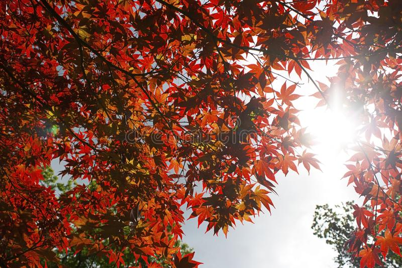 Sunlight Filtering Through A Japanese Maple. A red Japanese maple tree filters sunlight through its branches in a Japanese Garden stock illustration