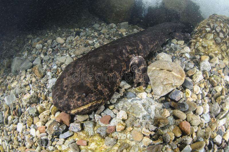 Japanese Giant Salamander Lurking in a River in Japan royalty free stock photography