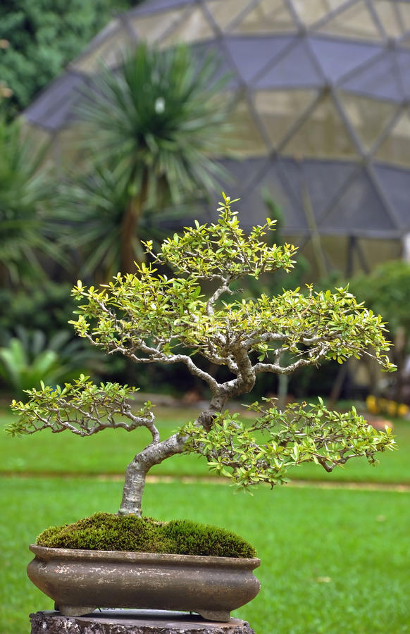 A japanese green bonzai royalty free stock image