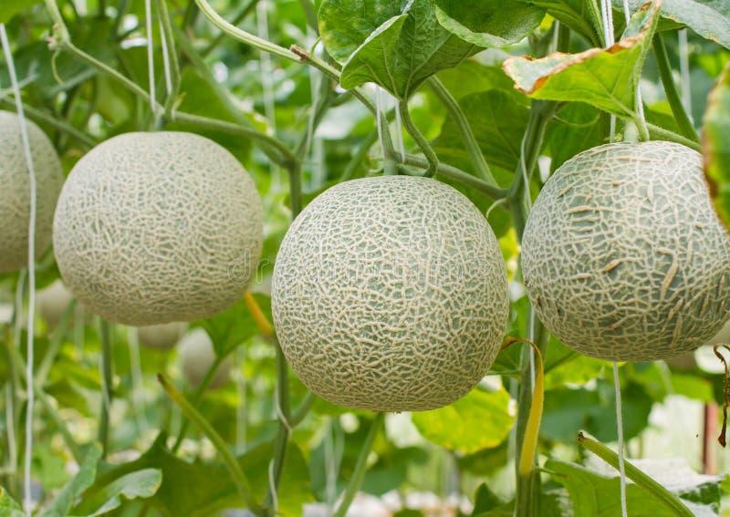 Japanese green cantaloupe. Fresh melon on tree in garden royalty free stock photo