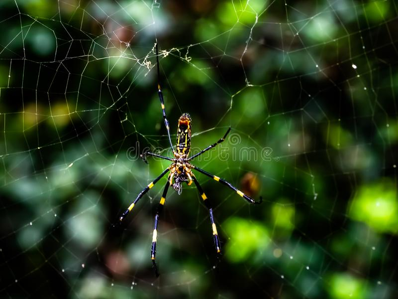 Japanese gumo spider on its web 2 stock photos