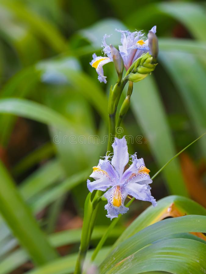 Japanese iris flower in light blue yellow with blurred green garden background stock image