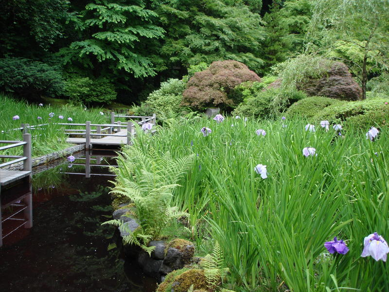 Japanese irises in Japanese garden. Japanese irises in tranquil Japanese garden Portland Oregon US. All pond, big rocks, wooden decking surrounded by shrubs stock photo