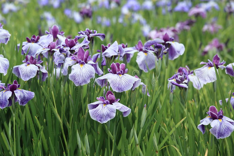 Japanese irises. Pictured Japanese irises in early summer,Japan stock photography